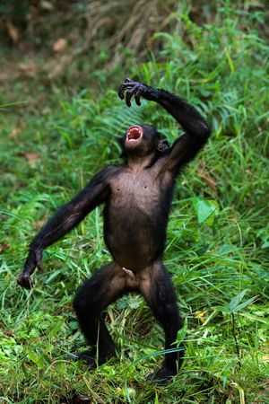 The Bonobo, Pan paniscus Stock Photo