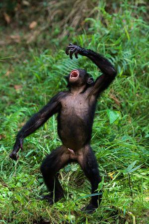 The Bonobo, Pan paniscus Stock Photo
