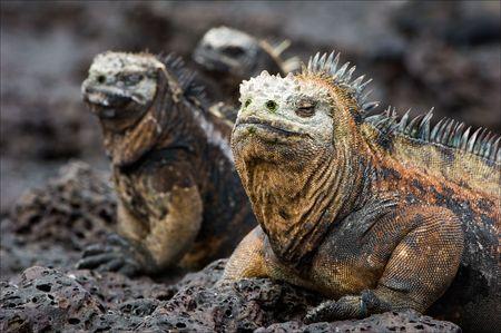 The marine iguana poses. / The marine iguana poses on the black stiffened lava.