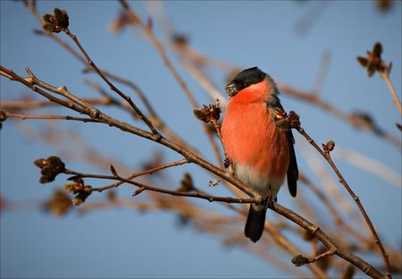 Bullfinch. The bullfinch sits on a branch and shells seeds. photo