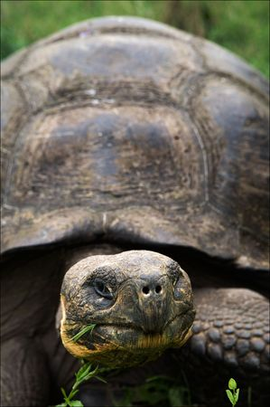 ancient turtles: Portrait Galapagos Turtles which eats a grass. A short distance. Stock Photo