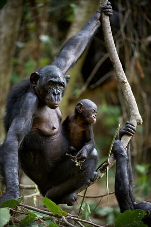 Chimpanzee Bonobo with a cub. Chimpanzee B?nobo with a cub hangs on a tree branch.