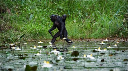 Crossing. The chimpanzee - Bonobo goes on water through a pond with a small cub on a back. photo
