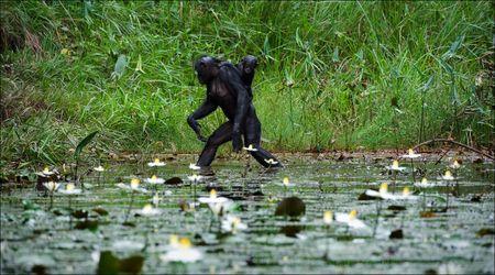 bonobo: Cruce. El chimpanc� - Bonobo va sobre el agua a trav�s de un estanque con un peque�o cachorro en una copia de seguridad.