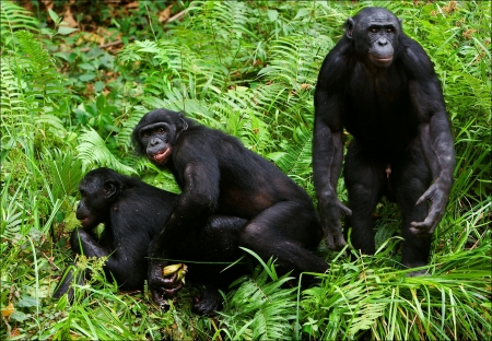 Bonobo love. / Lola Ya Bonobo. Democratic republic Congo.