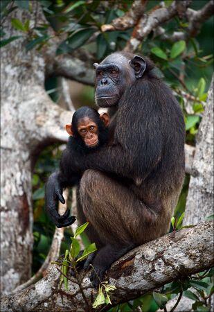 Chimpanz? avec un ourson sur les branches de la mangrove. M?re-chimpanz? est assis et d?tient sur les mains du chevreau. Banque d'images