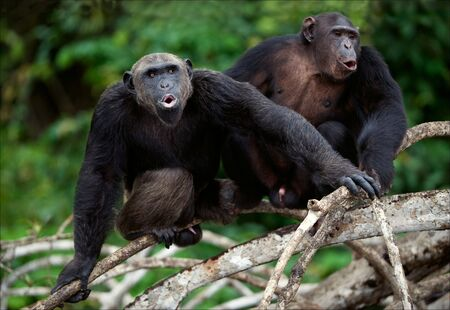 Songs. Chimpanzees sit on a tree branch in wood and songs bawl. photo