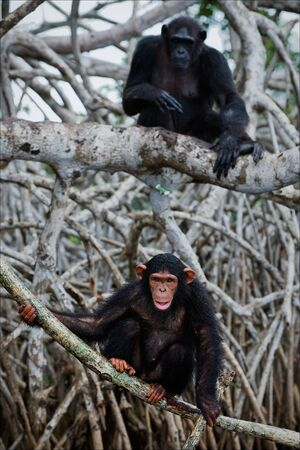 The young chimpanzee sits on roots mangrove tree, hardly his mother further sits Stock Photo - 7745439