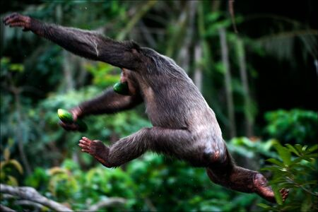 escapes: The chimpanzee escapes. A chimpanzee in a jump from a branch on a branch, in hands the stolen cucumber.