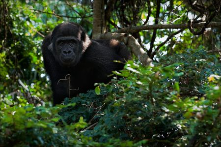 observes: The young male of a lowland gorilla observes from tree branches. Stock Photo