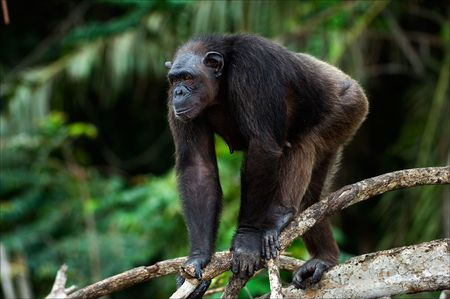 Vigilance. The chimpanzee costs on a branch of a tree with care looking afar.
