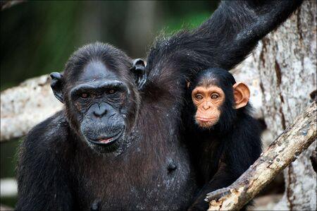 chimpansee: Chimpansee met een cub op mangrove takken. Moeder-chimpansee zit en houdt op de handen van de jongen.