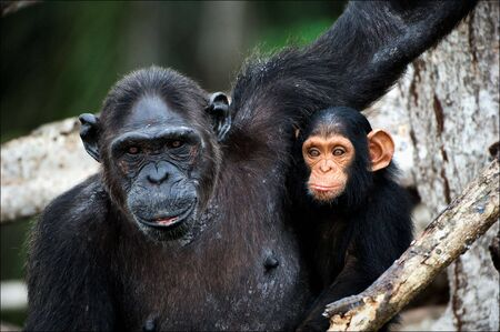 chimpanzee: Chimpanzee with a cub on mangrove branches. Mother-chimpanzee sits and holds on hands of the kid.