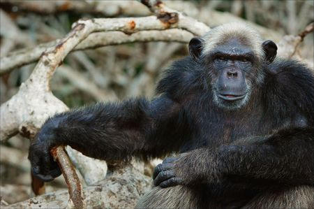 Portrait of the adult male of a chimpanzee at a short distance. Stock Photo