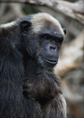 hominid: Ritratto di un maschio adulto di uno scimpanz� a breve distanza.  Archivio Fotografico