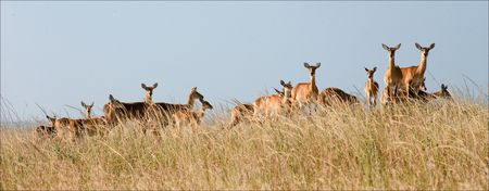 Gazelles stand against the yellow dried up grass in savanna. Stock Photo - 7745680