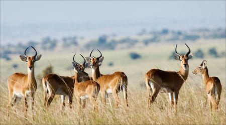 De groep van antilopen de impala kosten op het gras die veranderd gele van de warme zon.