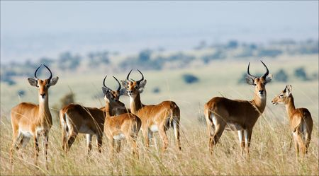 Die Gruppe von Antilopen Impala Kosten auf das Gras, das von der heißen Sonne gelb geworden ist.