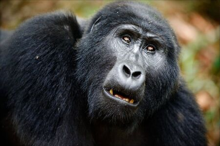 Portrait of a mountain gorilla at a short distance. A gorilla very close, but something has distracted her attention also she attentively looks upwards. Stock Photo - 7745674