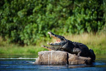 Nil Krokodil. Zwei Krokodile,? achdem geöffnet von einer Hitze zu grasen, sitzen auf einem großen Stein in der Mitte der Quellen des Nils.  Standard-Bild