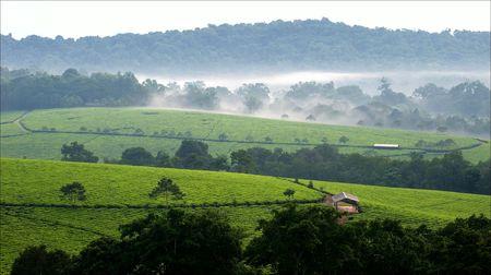 Graue Morgennebel über Teeplantagen Bwindi. Uganda.  Afrika.