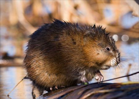 The muskrat (Ondatra zibethicus), the only species in genus Ondatra, is a medium-sized semi-aquatic rodent native to North America, and introduced in parts of Europe, Asia, and South America. Early spring. Ladoga Lake.Russia.  photo