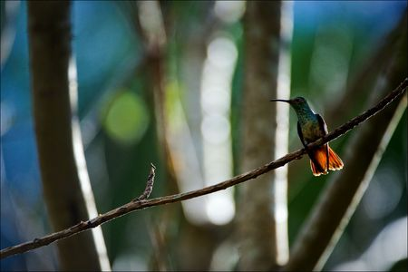 The hummingbird on a branch. The hummingbird sits on a branch in an environment of the green foliage illuminated by the sun Stock Photo - 7756822