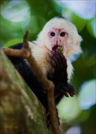 The Capuchin. The Capuchin eats green sheet, sitting on a tree branch.