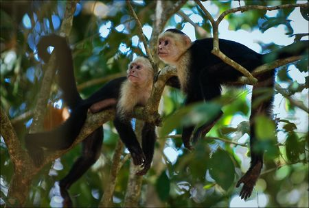 monkey on a tree: Two Capuchins. Two Capuchins in a midday sun it is lazy lie on branches of a tree and have a rest.