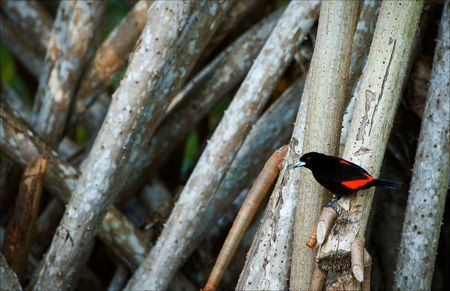 Bird on palm tree roots. The black bird with red wings sits on palm tree roots. photo