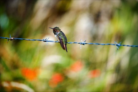 The hummingbird on prickly a prowolf. The small bird of the hummingbird sits on prickly a prowolf against colourful bright vegetation. Stock Photo - 7756901