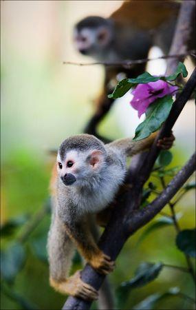 monkey on a tree: Squirrel monkey saimiri prepares for a jump. Stock Photo