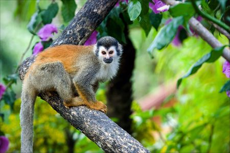 The squirrel monkey. The squirrel monkey saimiri sits on a branch of a tree and poses. photo