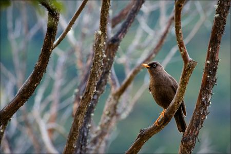 sooty: The Sooty Thrush (Turdus nigrescens) is a large thrush endemic to the highlands of Costa Rica and western Panama. It was formerly known as the Sooty Robin.