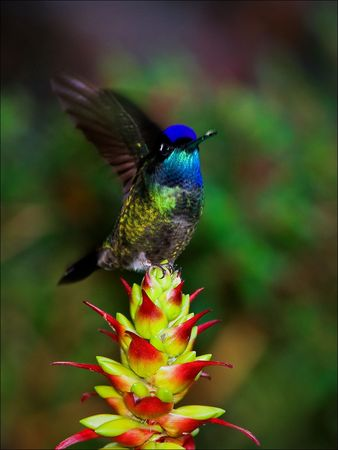 The hummingbird in movement. A bird of the hummingbird, often waving wings, sits down on a red flower. photo