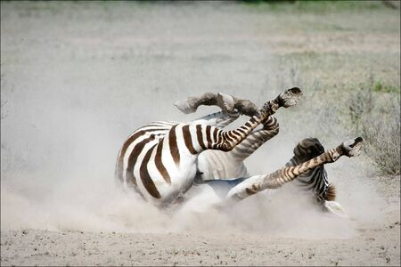 Zebra in a dust. The zebra goes for a drive by the ground, lifting dust clubs. photo