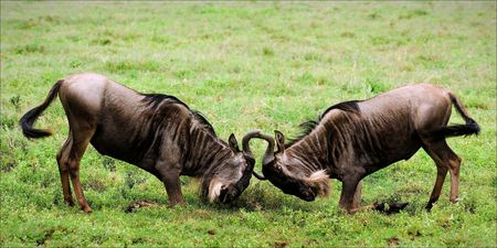 Duel. A duel of two wildebeest antelopes during marriage period. photo