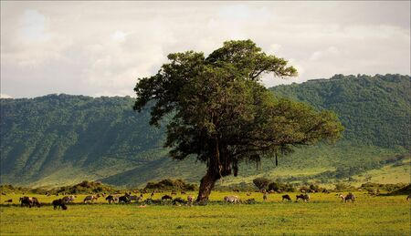 In a crater of Ngoro ngoro. A green landscape in a crater of Ngoro ngoro with grazed zebras and antelopes. photo