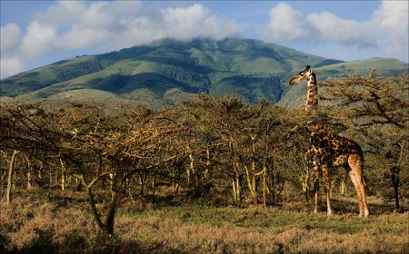 girafe: Giraffe in trees of acacias. The giraffe is grazed at mountain in trees of prickly acacias.