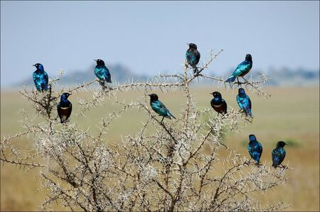 The group of bright bi of brilliant birds sits on an acacia as a New Years garland. photo