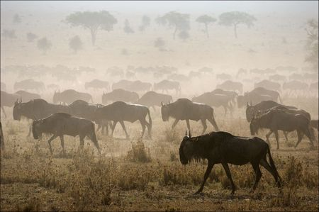 masai: The herd of migrating antelopes goes on dusty savanna.