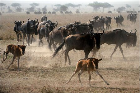 The herd of migrating antelopes goes on dusty savanna. photo