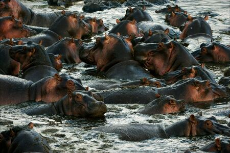 aquatic herb: The herd of hippopotamuses bathes. The big herd of hippopotamuses bathes in a close pond with rocky coast in the evening.
