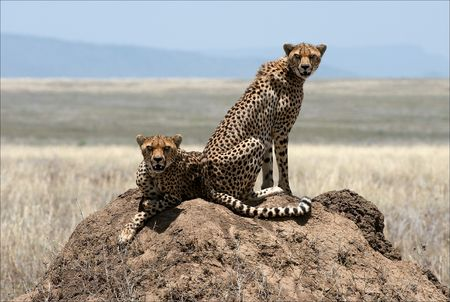 Two cheetahs. Two cheetahs sit on a termitehill under the scorching sun in hot day. photo