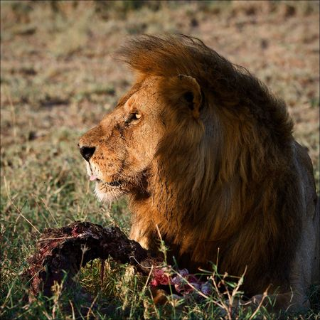 Supper of a lion. A having supper lion in the light of the coming sun with a meat piece. photo