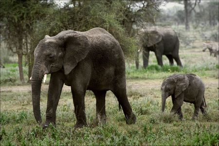 The family of the African Bush Elephants.Loxodonta africana.The family of the African Bush Elephants. The African Bush Elephant (Loxodonta africana) is the larger of the two species of African elephant.  photo