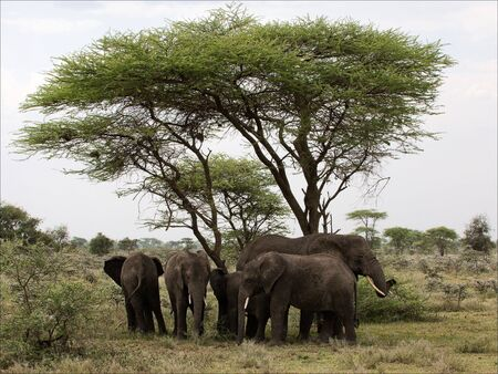 African Bush Elephants on an acacia. Loxodonta africana.The family of the African elephants hides from the sun in hot day under an acacia photo