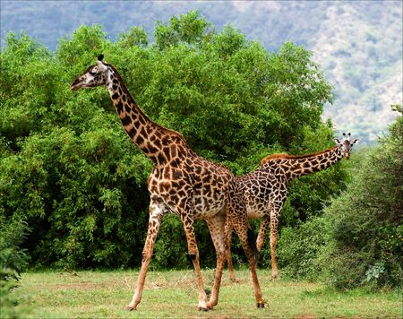 Two giraffes are grazed at acacia bushes. The pair giraffes is grazed at green bushes of an acacia at bottom of mountains. Stock Photo - 7879048