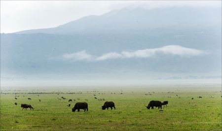 grazed: Buffalo s are grazed on a green valley of a crater of Ngoro Ngoro. Stock Photo