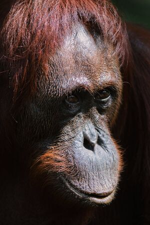 Orangutan Ben. / Very clever sight of the young orangutan of the male by name of Ben Stock Photo - 7978243